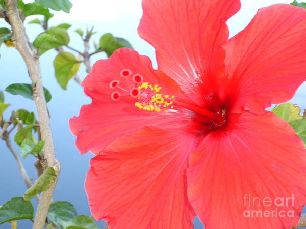 Flower Art Print featuring the photograph Hibiscus At Full Bloom by Chad Natti