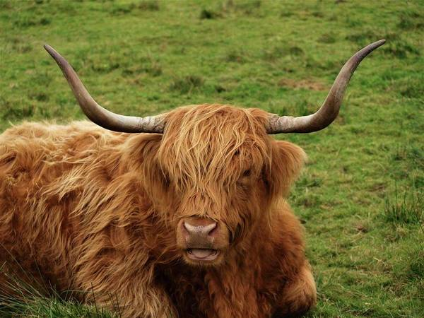 Highland Coo Art Print featuring the photograph Highland Coo by Stefanie Harper