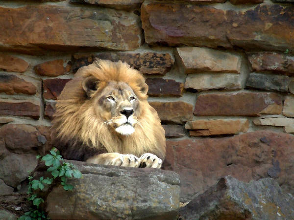 Lion Art Print featuring the photograph His Highness by Chuck Shafer