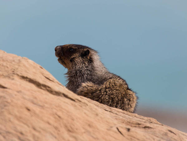 Art Print featuring the photograph Hoary Marmot On Blue by J and j Imagery