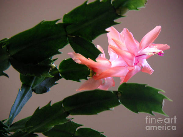 Nature Art Print featuring the photograph Holiday Cactus - On Wings by Lucyna A M Green