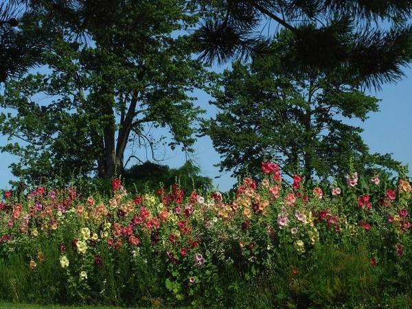 Indiana Landscapes Print featuring the photograph Hollyhocks And Trees by Michael L Kimble