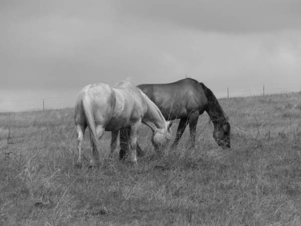 Horses Art Print featuring the photograph Horses In Bw 2 by Pamela Pursel