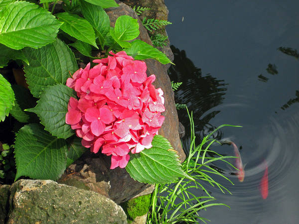 Hydrangea Art Print featuring the photograph Hydrangea And Koi by Angela Siener