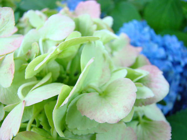 Hydrangea Art Print featuring the photograph Hydrangea Flowers Art Prints Floral Gardens Gliclee Baslee Troutman by Baslee Troutman