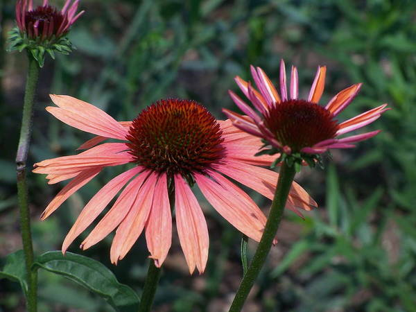 Coneflower Art Print featuring the photograph Indigenous Beauty by Vijay Sharon Govender