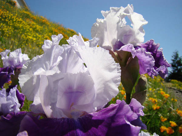 �irises Artwork� Art Print featuring the photograph Iris Flowers Purple White Irises Poppy Hillside Landscape Art Prints Baslee Troutman by Baslee Troutman