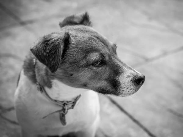 Dog Art Print featuring the photograph Jack Russell by Nick Bywater