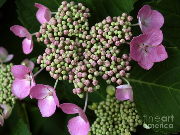 Flower Art Print featuring the photograph Lacecap Hydrangea Macro by Anna Lisa Yoder