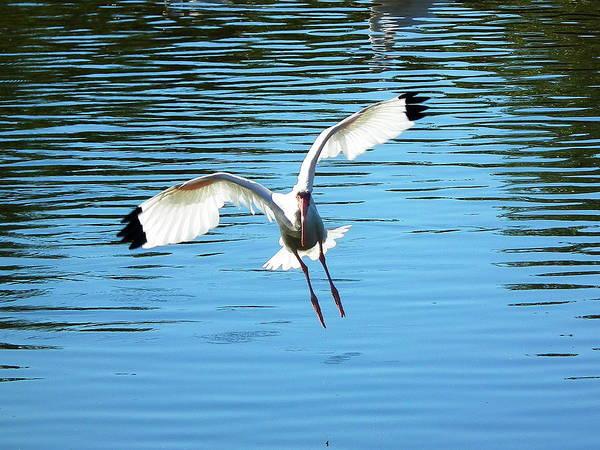 Bird Art Print featuring the photograph Landing Ibis by Wayne Skeen