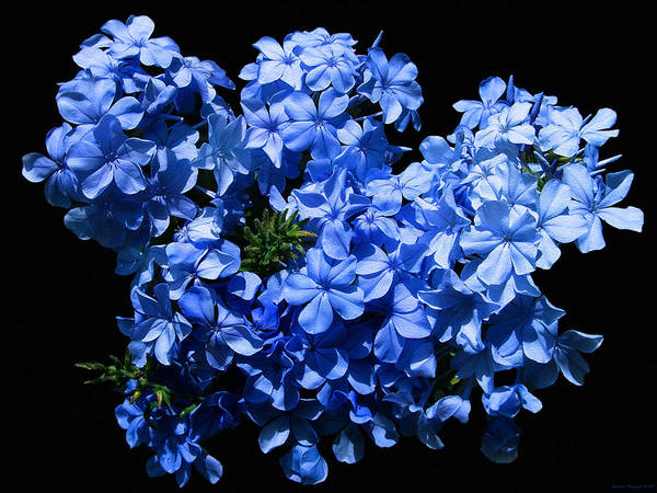 Flower Photography Art Print featuring the photograph Lazy Blue Dazes by Evelyn Patrick