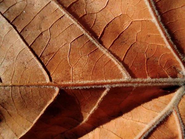 Sycamore Art Print featuring the photograph Leaf Veins by Beth Akerman