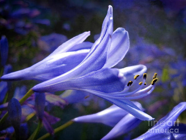 Flowers Art Print featuring the photograph Lily Of The Nile by Ellen Cotton