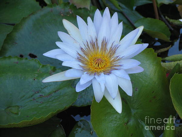 Flower Art Print featuring the photograph Lily White by Stephanie Richards