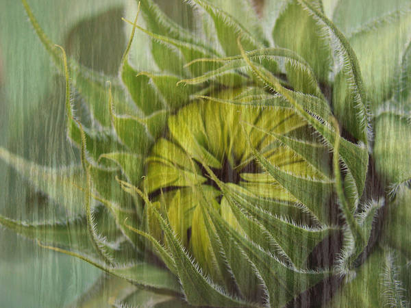 Sunflower Art Print featuring the photograph Liquid Sunflower by Tingy Wende
