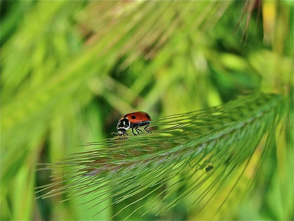 Ladybug Art Print featuring the photograph Little Lady by Diana Hatcher