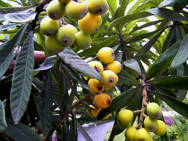Loquat Art Print featuring the painting Loquat Exotic Tropical Fruit 2 by Jeelan Clark