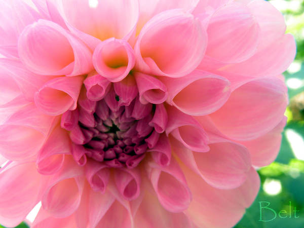 Floral Art Print featuring the photograph Lovely Linda by Christine Belt