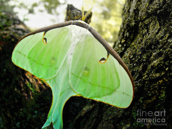 Macro Art Print featuring the photograph Luna Moth No. 3 by Todd Blanchard