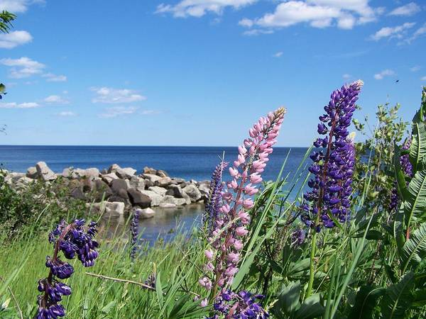 Lupines Art Print featuring the photograph Lupines At Lake Superior by Wendy Smith