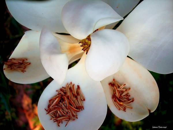 Nature Art Print featuring the photograph Magnolia Blossom by Johann Todesengel