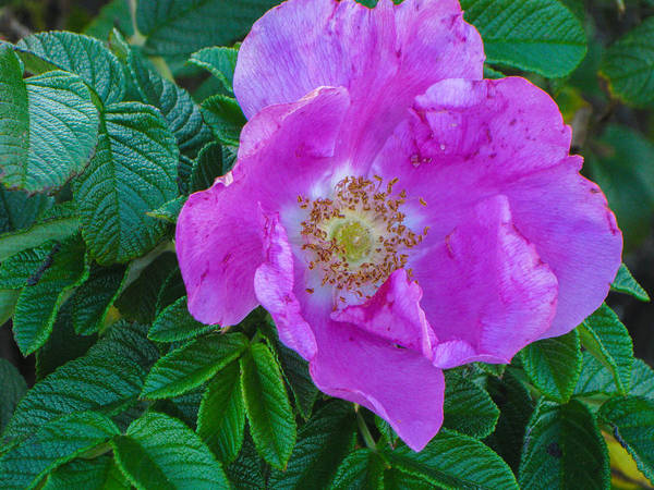 Purple Art Print featuring the photograph Maine Rose by Brenda Burns