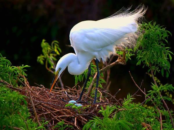Great White Egrets Art Print featuring the photograph Maternal Instinct by Jennifer A Garcia