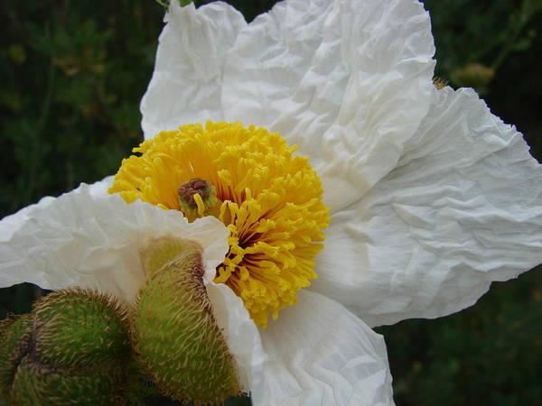Flowers Art Print featuring the photograph Matilija Poppy 2 by Liz Vernand