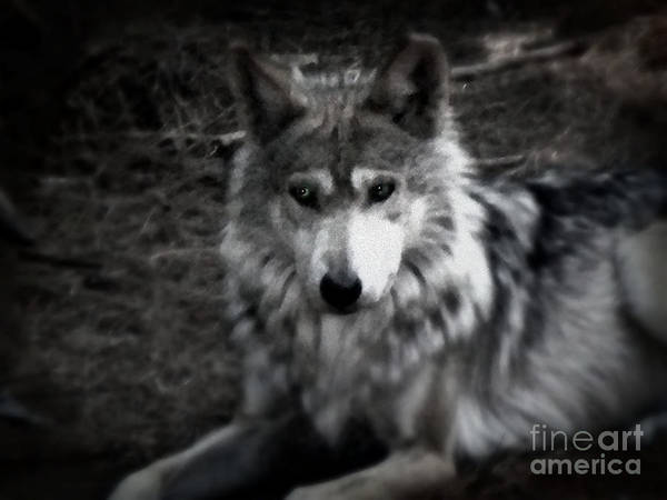 Black And White Art Print featuring the photograph Mexican Gray Wolf by Emily Kelley