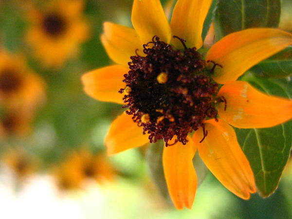 Flower Art Print featuring the photograph Mini Sunflower by Melissa Parks
