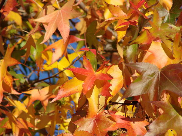 Autum Leaves Art Print featuring the photograph More Autum Leaves by Liz Vernand