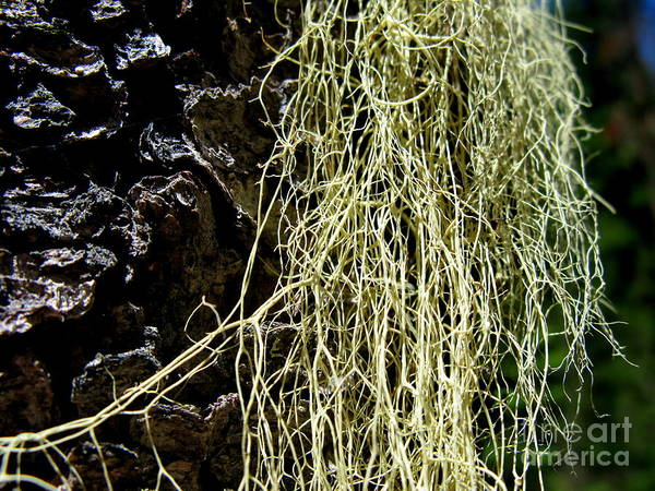 Tree Art Print featuring the photograph Mossy Tree by PJ Cloud