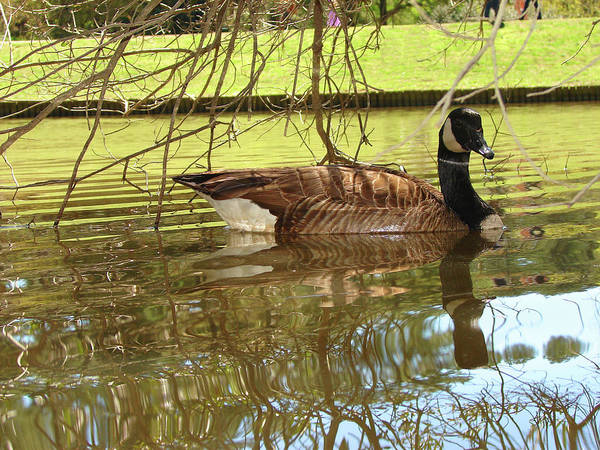 Goose Art Print featuring the photograph Mother Goose by Laura Brightwood