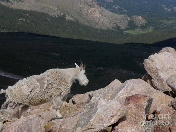 Mountain Goat Animals Rocky Mountains Mt. Evans Colorado Alpine Above Treeline Rocks Art Print featuring the photograph Mountain Goat by George Tuffy