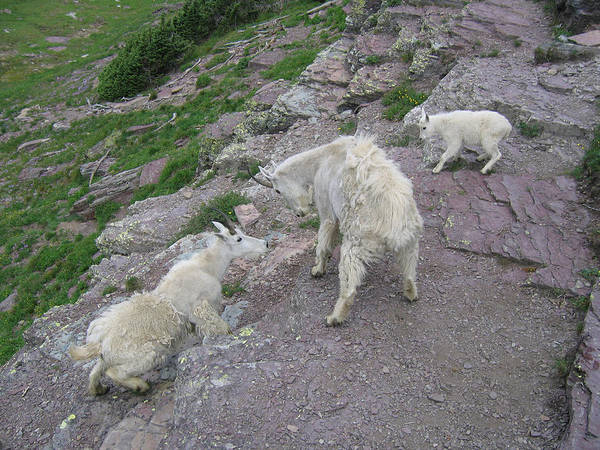 Art Print featuring the photograph Mountain Goats by Diane Wallace