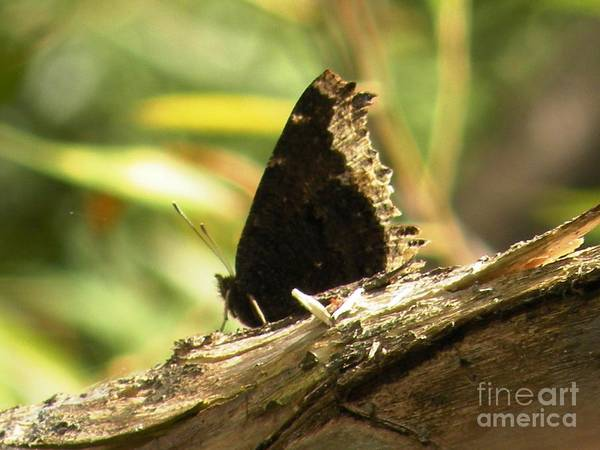 Mourning Art Print featuring the photograph Mourning Cloak Butterfly by Joanne Young