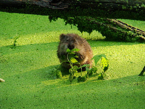 Brown Art Print featuring the photograph Muskrat Susie Or Muskrat Sam by Shelley Neff