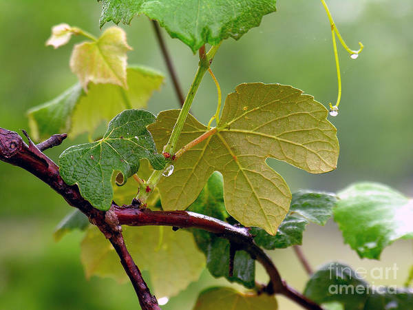 Grapevine Art Print featuring the photograph My Grapvine by Robert Meanor