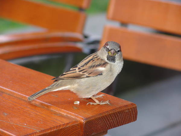 Sparrow Art Print featuring the photograph My Little Friend In Berlin by Kevin Callahan