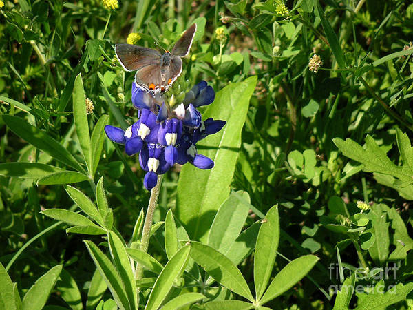 Nature Art Print featuring the photograph Nature In The Wild - Those Sweet Blues by Lucyna A M Green
