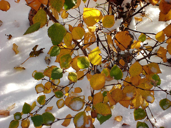 Aspen Leaves Art Print featuring the photograph October Snow by Marilynne Bull