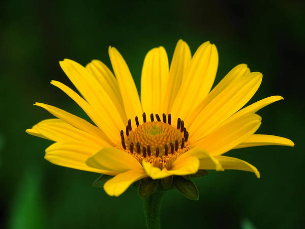 Daisy Art Print featuring the photograph One Daisy by Juergen Roth