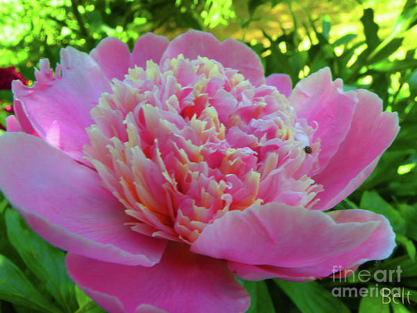 Peony Flower Art Print featuring the photograph One Of The Peony Sisters Of Nebraska City by Christine Belt