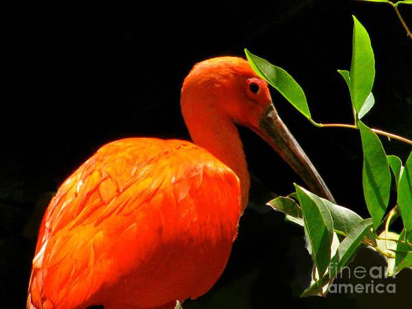 Orange Beauty Bird Art Print featuring the photograph Orange Beauty by Debra   Vatalaro