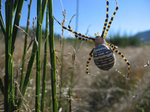 Spider Art Print featuring the photograph Orb Weaver by Amanda Malachesky