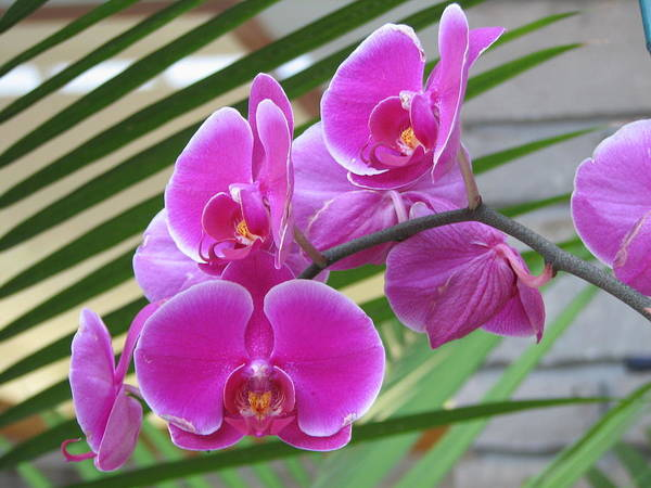 Orchid Art Print featuring the photograph Orchid 1 by David Dunham