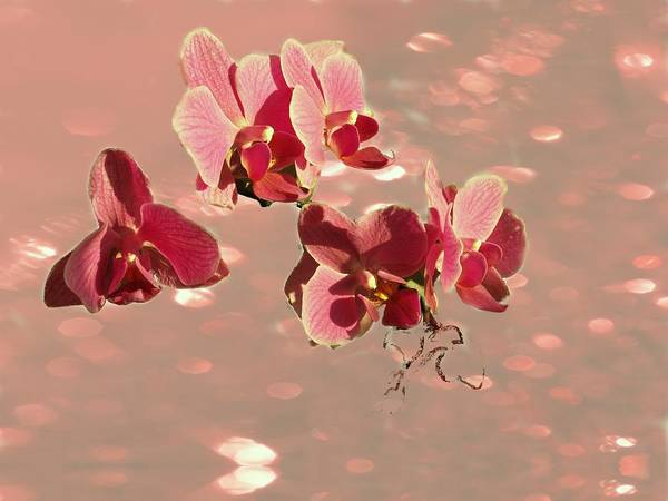 Flowers Art Print featuring the photograph Orchid Petals In Pink by Irma BACKELANT GALLERIES