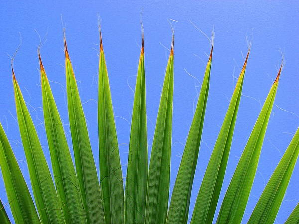 Palm Art Print featuring the photograph Palm 2 by Kathy Roncarati