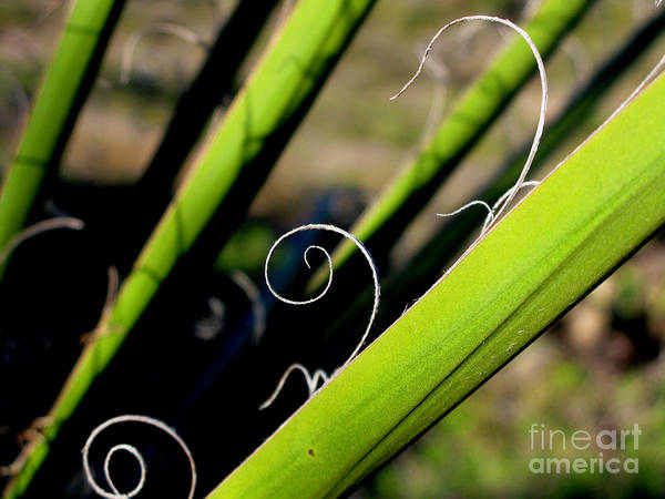 Palm Art Print featuring the photograph Palm Strings by PJ Cloud