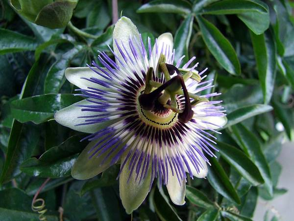 Passion Flower Art Print featuring the photograph Passion Flower by George Cousins
